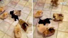 Parece un piso lleno de cachorros jugando, ¡pero uno de ellos está actuando un poco extraño!