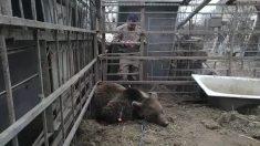 Video muestra oso en malas condiciones, pero luego sabrás por qué está siendo grabado