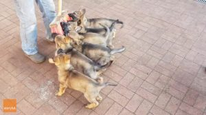 8 cachorros pelean por su juguete favorito, pero luego ves lo que su dueño tiene en la mano