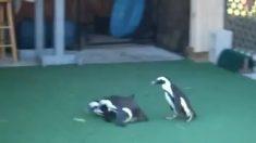 Pingüinos se vuelven locos tratando de seguir algo en el suelo. Cuando veas lo que es, te reirás