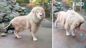 Majestuoso león es sorprendido por una burbuja de jabón, ataque sorpresa. ¡Su reacción es divertida!