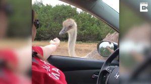 Mujer trata de alimentar un avestruz en un centro de vida silvestre, pero no sale según lo planeado