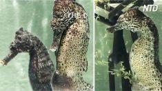 Caballito de mar macho negro se convulciona violentamente, ve su vientre después de tronarse blanco