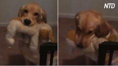 Deja a su perro travieso en casa todo el día, cuando entra por la puerta, ¡es sorprendente!