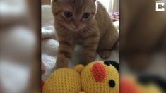 Gatito parece estar triste, pero cuando veas de cerca su cara; te darás cuenta de que no es así