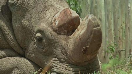Muere el último ejemplar macho de rinoceronte blanco del norte del mundo