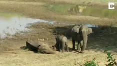Mira la fascinante acción de grupo de hombres cuando un elefante queda atrapado en el barro por horas