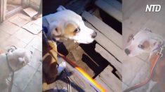 Perro molesto lleva a socorrista al establo; cuando pisan suelo de madera rota, escuchan algo