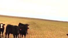 Las vacas están confundidas y asustadas, pero una vez que veas cuál es el motivo, te sorprenderás