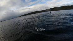 Científicos presencian por primera vez un infanticidio de una orca asesina