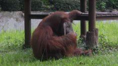 El polémico viral del momento: graban a orangután fumando en zoológico de Indonesia