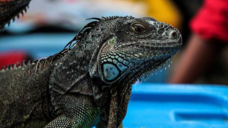 Investigadores golpean iguanas para solucionar el problema de sobrepoblación en Florida