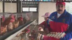 Nicolás Maduro anima a venezolanos a criar gallinas para combatir escasez de alimentos