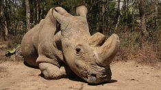 El último rinoceronte blanco del norte del planeta está en peligro de muerte, dicen sus cuidadores