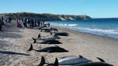 Mueren 49 de un total de 68 delfines varados en la costa de Madryn, Argentina
