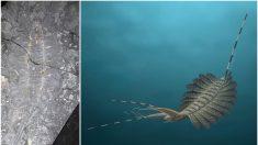Descubren 15 cerebros fosilizados de una insólita criatura acuática de hace más de 520 millones de años
