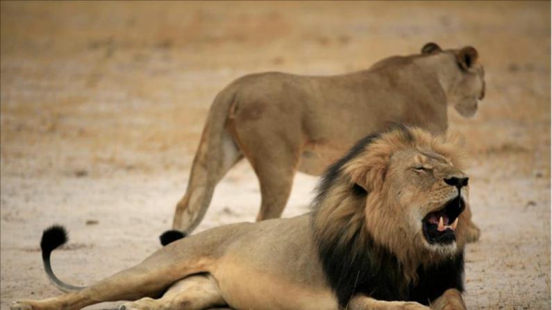 Cecil, el león asesinado por un dentista, agonizó durante 10 horas