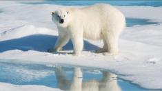 Contra pronóstico ambientalista: las poblaciones de osos polares gozan de buena salud, según experta