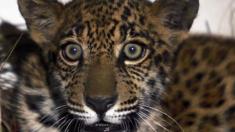La llegada de empresas chinas traficando colmillos y pieles amenaza al jaguar boliviano