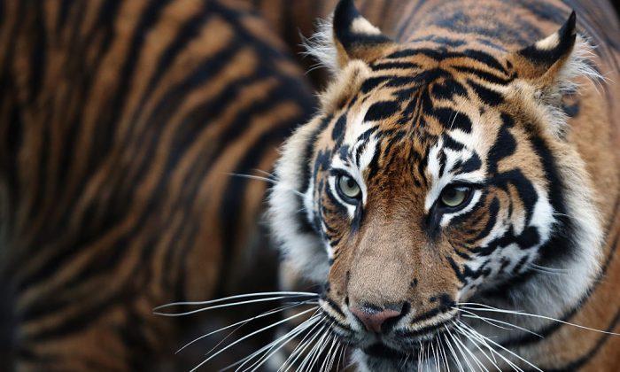 Tigre de Sumatra en una foto de archivo. (Foto de Dan Kitwood / Getty Images) ShareTweetCompartirEmail