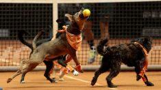 Brasil: 6 perros que esperan por adopción recogen pelotas en torneo abierto de tenis