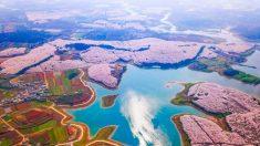 Viaja por el maravilloso paisaje de los cerezos en flor en China