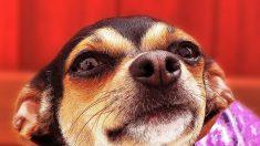 Hombre sin hogar que estaba a punto de perder su perra chihuahua llora cuando alguien decide ayudar