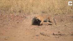 Un naturalista graba una encarnizada pelea entre un tigre y una osa que defendía a su cachorro