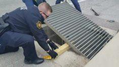 Bomberos y policías se unen para salvar a 6 patitos huérfanos atrapados en una alcantarilla en Texas