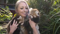 'Lindos y esponjosos' cachorros pandas rojos juegan con los guardianes del Zoológico