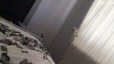 Gatito salta en la cortina del dormitorio. Pero lo que el gato revela, es como magia