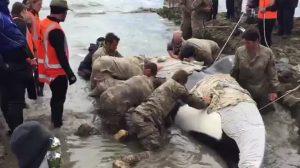 Cuando este enorme animal quedó varado en la playa ¡tuvieron que llamar al ejército!