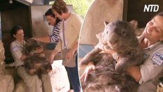 Turistas aman acariciar el wombat australiano gigante. Cuando lo pasean en carretilla, es adorable