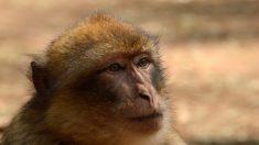 Obesidad y accidentes de tráfico son los males que enfrentan  los macacos de Berbería en Gibraltar