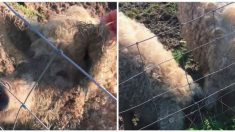 ¿Cerdos con lana? Ciclista se sorprende al descubrirlos en la ciudad británica de Kent