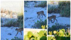 Divisan gato montés merodeando en una playa de Florida
