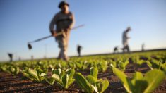 Autoridades de EEUU piden no consumir lechugas romanas por brote de E. coli