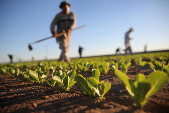 Trabajadores agrícolas mexicanos cultivan lechuga romana en una granja el 8 de octubre de 2013 en Holtville, California. (Foto de John Moore/Getty Images)