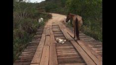El hombre ve a un potro caer entre las grietas del puente. Cuando se acerca cauteloso, deje de respirar