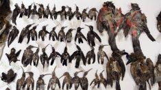 Confiscan 84 aves secas en Perú para tráfico ilegal hacia Rusia