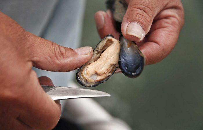 Descubren que mejillones de costa noroeste dan positivo en opiáceos A freshly caught mussel. EFE/EPA/ANP/Archivo