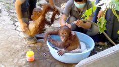 Hora del baño para los bebés orangutanes, la diversión empieza cuando uno de ellos no quiere mojarse