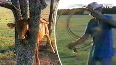 Encuentra al ternero con la cabeza atrapada en el árbol. Cuando usa su cuerda ¡resulta emocionante!