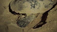 Miles de crías de tortugas fueron liberadas en la Bahía de Bengala