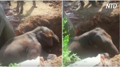 Cuando la manada enloquece elefantito asustado cae al agujero. Luego los aldeanos hicieron esto