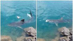 Alarma por la presencia de un gran tiburón tigre en el puerto de Honolulu