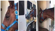 Caballo de la policía es experto en abrir puertas de los autos para buscar comida
