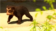 Cachorro de oso en peligro de extinción hace su debut en el zoo de Amberes