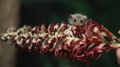 Nacen tiernos bebés del mamífero planeador más pequeño del mundo en zoo de Australia
