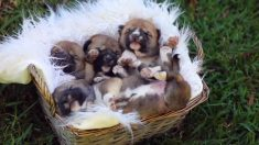Nacen 4 cachorros de dingo increíblemente lindos en parque australiano